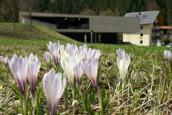 Das Naturparkhaus mit Krokusse