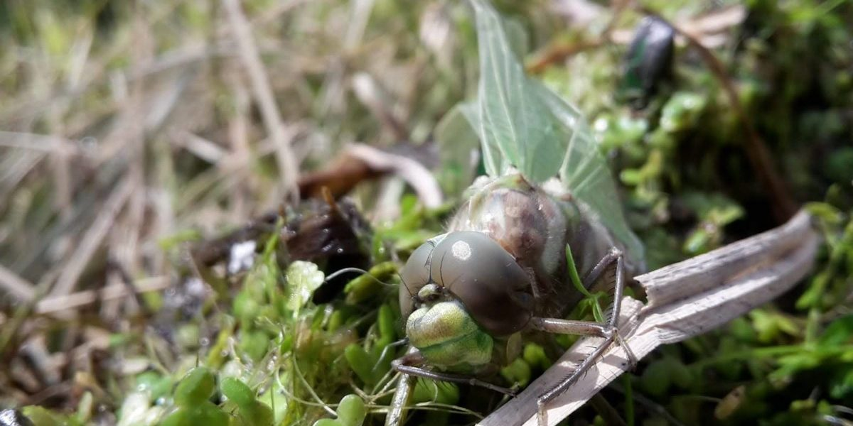 Libelle Walderalmteich