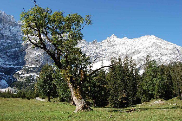 Bergahorn (Acer pseudoplatanus)