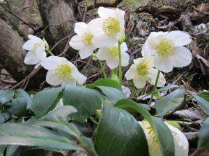 christrose schneerosen helleborus niger r rettinger 1