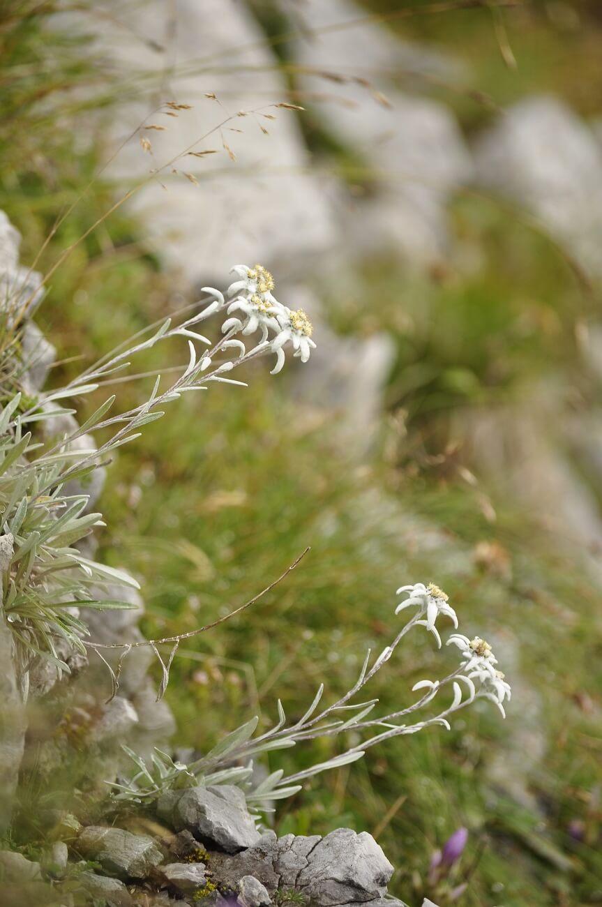 Edelweiß (Leontopodium nivale)
