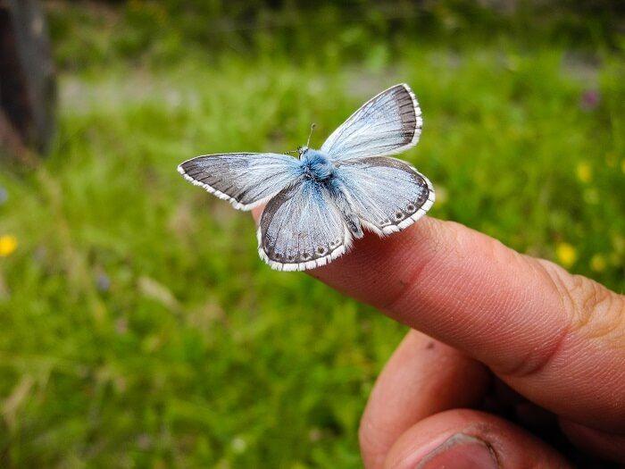 Der Schmetterling Eros Bläuling (Polyommatus Eros)