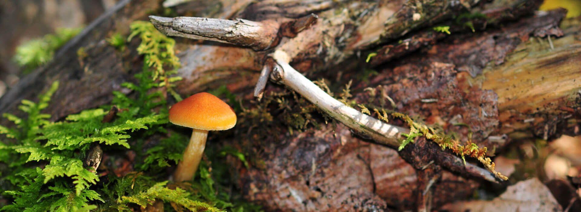 Totholz mit Moos und Pilz