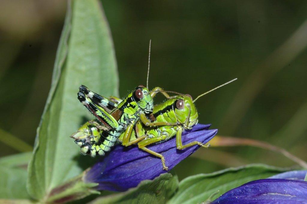 Kärntner Gebirgsschrecke (Miramella carinthiaca) bei der Paarung