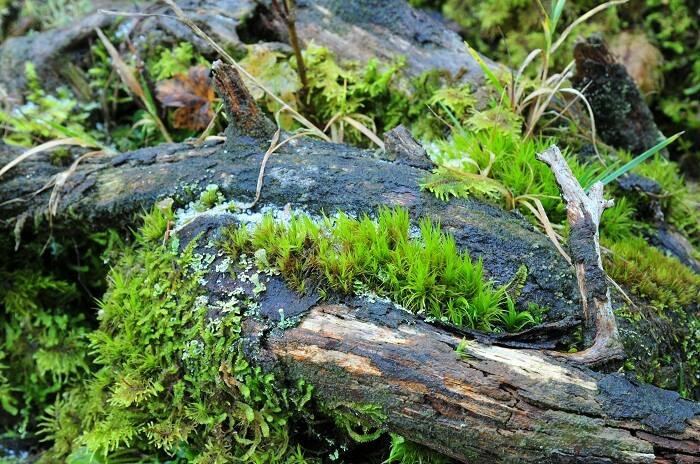 Totholz im Naturwaldreservat Tortalalm