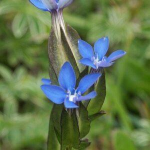 Schlauch-Enzian (Gentiana utriculosa)