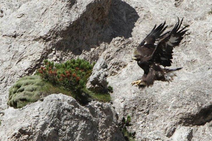 steinadler bei landung