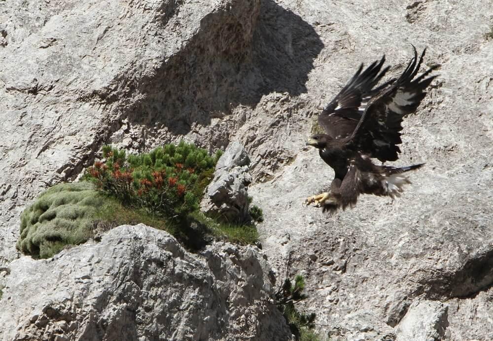 Steinadler (Aquila chrysaetos) bei Landung vor einer Felswand