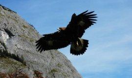 steinadler im flug 4