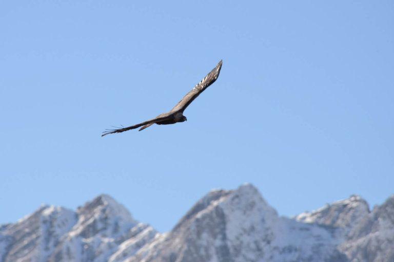 steinadler im flug vor blauem himmel