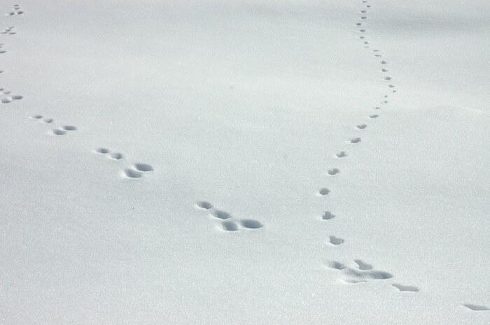 Spuren von Schneehase (Lepus timidus) und Fuchs (Vulpes vulpes) im Schnee