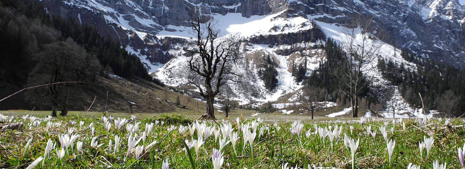Tulpenblüte am Großen Ahornboden